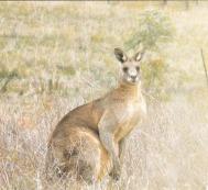4-kangaroo-yindyamarra_rough-square-for-website